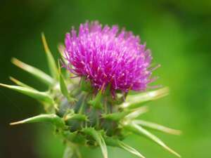 herbs for liver - milk-thistle